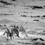leones, africa, sabana, naturaleza, safari, Etosha, Namibia, cachorros
